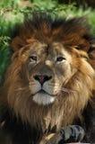 kierowniczy lew s Fotografia Royalty Free