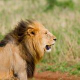 kierowniczy lew s fotografia stock