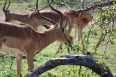 Kierowniczy Męski Impala stado Zdjęcia Royalty Free