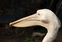 kierowniczy pelikan s Zdjęcia Royalty Free