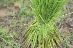 Kierowniczy ryż fotografia royalty free
