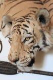 kierowniczy s próbki tygrys Obraz Royalty Free