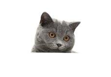 Kierowniczy szary kota zakończenie up odizolowywający na białym tle Zdjęcie Stock