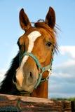 kierowniczy zbliżenie koń Obrazy Stock