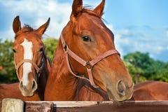 kierowniczy zbliżenie koń Fotografia Royalty Free