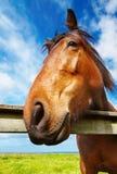 kierowniczy zbliżenie koń Zdjęcie Stock