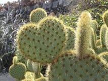 Kierowy kaktus Zdjęcia Stock