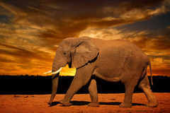 Kies Afrikaanse olifant (Loxodonta-africana) uit, lopend in recente middag in Addo Elephant National Park Royalty-vrije Stock Afbeeldingen