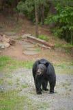 Kies beer uit lopend op een weg Royalty-vrije Stock Foto