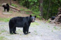 Kies beer uit lopend op een weg Stock Fotografie