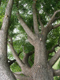 Kies oude boom met sterke boomstam en bruine schors uit Stock Foto's