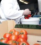 Kies tomaten Royalty-vrije Stock Foto