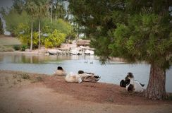 Kieselsteinfreier Park-Teich, Gilbert, Arizona Stockbild