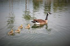 Kieselsteinfreier Park-Teich, Gilbert, Arizona Lizenzfreie Stockfotografie