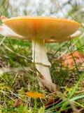 Kieuwen van een paddestoel van de vliegplaatzwam op bosvloer royalty-vrije stock foto