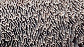 Kieuwen van paddestoel, lenzites royalty-vrije stock afbeelding