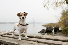 Kiev dog walking Royalty Free Stock Image