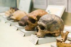 KIEV, UCRANIA - 16 DE JUNIO DE 2018: Museo Nacional de ciencias naturales de Ucrania Evolución humana del cráneo, teoría de la na fotos de archivo libres de regalías