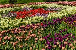 KIEV, UKRAINE - April 17, 2017: Carpet of multicolored tulips, April 17, 2017, Kiev, Ukraine. Carpet of colorful tulips in early spring , April 17, 2017, Kiev Stock Photos