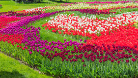 Kiev, Ukraine - April 23, 2016: Flower bed of multicolored tulips on tulips exhibition Stock Photos