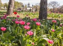 KIEV, UKRAINE: Blooming tulips  in the M. Gryshko National botan. KIEV, UKRAINE-April 17. 2016: Blooming tulips in the M. Gryshko National Stock Photography