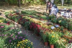 KIEV, UKRAINE - OCTOBER11: Chrysanthemumsr Show Landscape Park i Royalty Free Stock Image