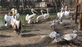 Kiev zoo. pelicans on a sunny day. Kiev, Ukraine - April 10, 2018. kiev zoo pelicans on a sunny day stock images