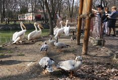 Kiev zoo. people watch pelicans on a sunny day. Kiev, Ukraine - April 10, 2018. zoo. people watch pelicans on a sunny day royalty free stock images
