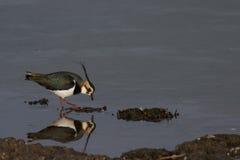 Kievit & x28; Vanellus vanellus& x29; bezinning in water stock afbeeldingen