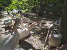 Kiew, Pelikane im Zoo stockbilder