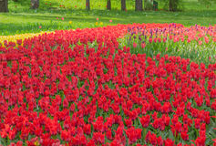Kiew, Ukraine - 23. April 2016: Blumenbeet von roten und purpurroten Tulpen auf Tulpenausstellung Lizenzfreie Stockfotos