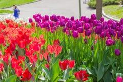 Kiew, Ukraine - 23. April 2016: Rote und purpurrote Tulpen auf Blumenbeet auf Tulpenausstellung Stockbilder