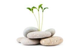 Kiezelstenen en zaailingen - alternatieve geneeskunde Stock Foto's