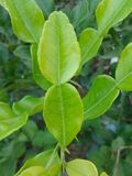 Kiffar lime leaves Stock Photography