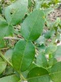 green Kaffir lime leaves Royalty Free Stock Photo