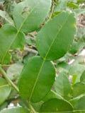 Kiffir lime leaves Royalty Free Stock Photos