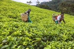 KIGALI, RWANDA - SEPTEMBER 6, 2015: Niet geïdentificeerde arbeiders Twee Afrikaanse mensen in theeaanplanting Royalty-vrije Stock Afbeeldingen
