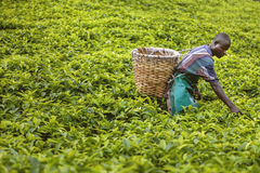 KIGALI, RWANDA - SEPTEMBER 6, 2015: Onbekende arbeidermens De theeaanplantingen van Rwanda Royalty-vrije Stock Afbeelding