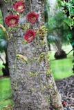Kigelia Africana Flowers. Sausage Tree with Kigelia Africana Flowers in the Fruit and Spice Park Royalty Free Stock Photo