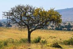Kigelia Africana, Kenia imagenes de archivo