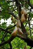 Kigelia africana. Or Sausage tree with fruit Stock Photo