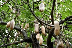 Kigelia africana. Or Sausage tree with fruit Royalty Free Stock Photo