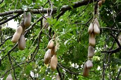 Kigelia africana. Or Sausage tree with fruit Royalty Free Stock Images