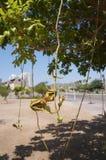 Kigelia africanablomning Fotografering för Bildbyråer