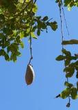 Kigelia africanafrukt Arkivbild