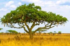 Kigelia, aka albero della salsiccia, nel paesaggio asciutto della savanna, parco nazionale di Serengeti, Tanzania, Africa Fotografie Stock Libere da Diritti