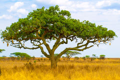 Kigelia, aka sausage tree, in dry savanna landscape, Serengeti National Park, Tanzania, Africa. Kigelia, aka sausage tree, in dry savanna landscape, Serengeti Royalty Free Stock Photos