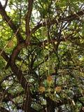 Kigelia drzewo przy południe plażą, Miami Obraz Royalty Free