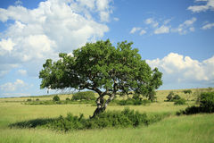 Kigelia pinnata tree. Also known as the sausage tree Kenya Africa Stock Photo