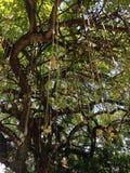 Kigelia Tree at South Beach, Miami. Stock Photos